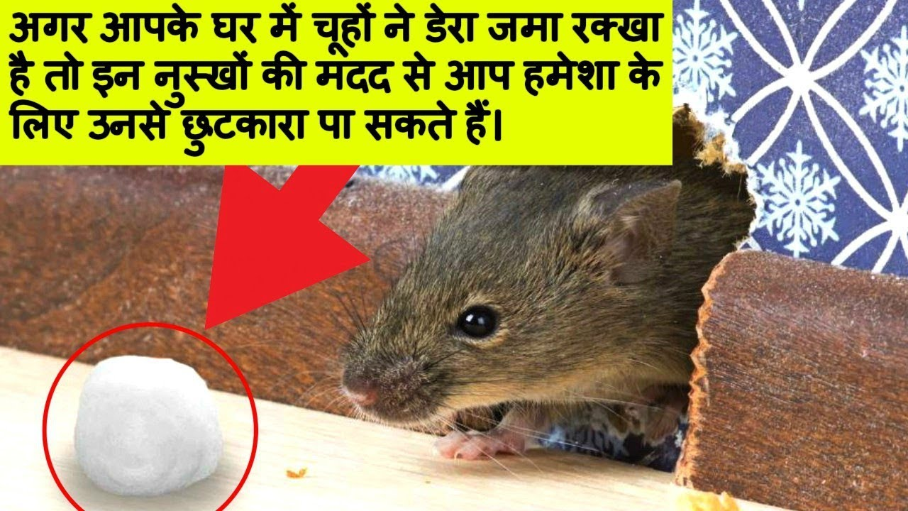 How To Get Rid Of Rats Keep Rats Away Cookeryshow Com